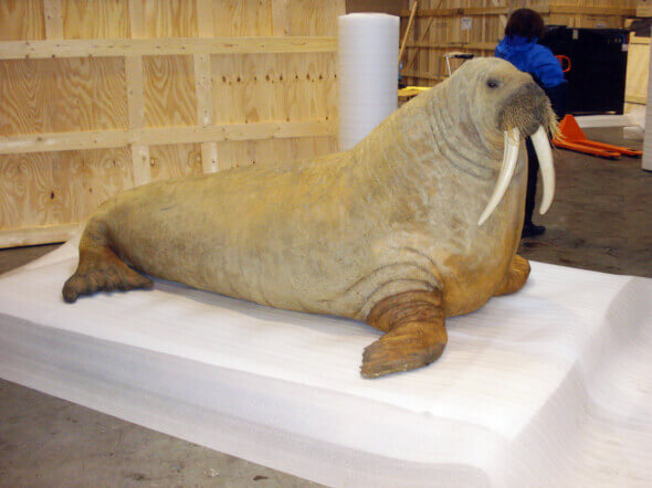 walupack-services-maritime-packaging-of-a-walrus